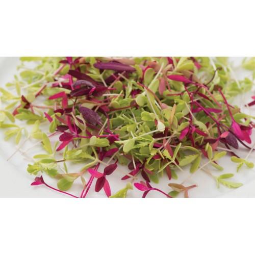 Βιολογική Λαχανίδα κόκκινη (Red Kale) microgreens 30gr
