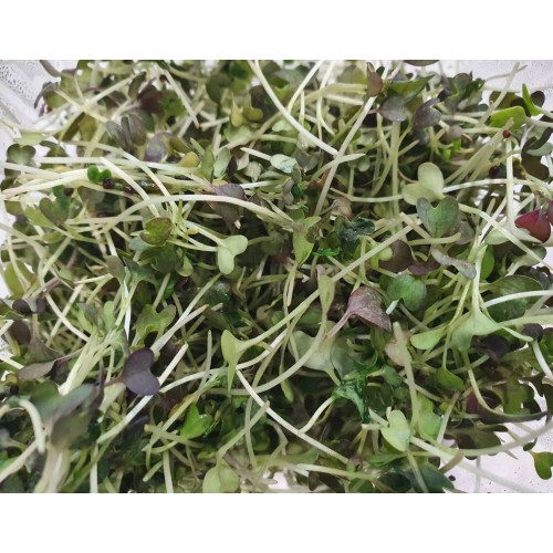 Βιολογικό Σινάπι (Mustard) microgreens 30gr